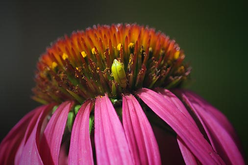 Bug On A Coneflower 51584