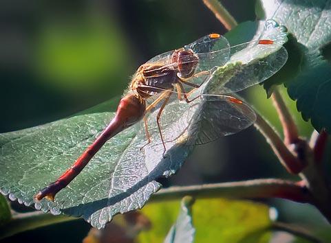 Dragonfly DSCF02490
