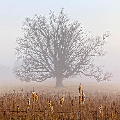 Lone Tree In Fog 20120322