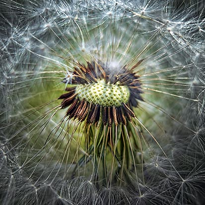 Dandelion Seed Head 20120511