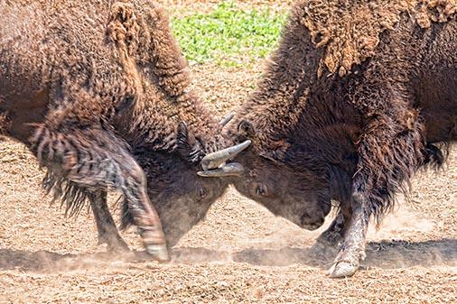 Headbutting Bison 20120628