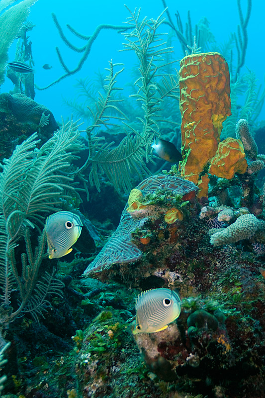 Tube Sponge With Butterfly Fish