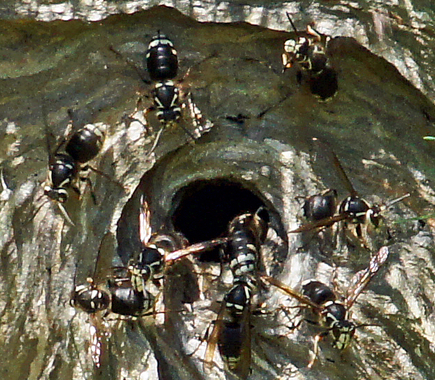 wasp nest- bald faced hornets