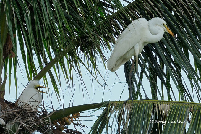 <i>(Ardea modesta)</i> <br />Eastern Great Egret