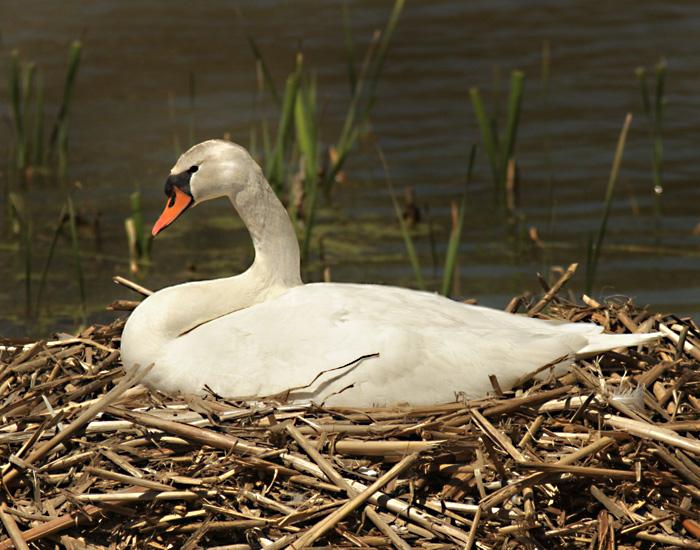 swan 1 web.jpg