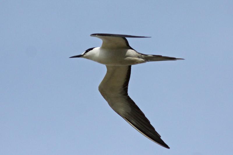 `Ewa`ewa (Sooty Tern)