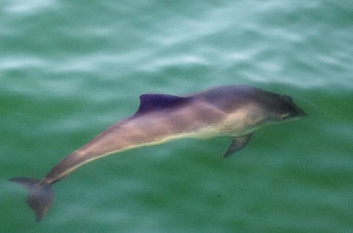 Harbour Porpoise underwater / Bruinvis onderwater