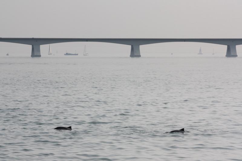 Harbour Porpoises / Bruinvissen near the Zeelandbrug