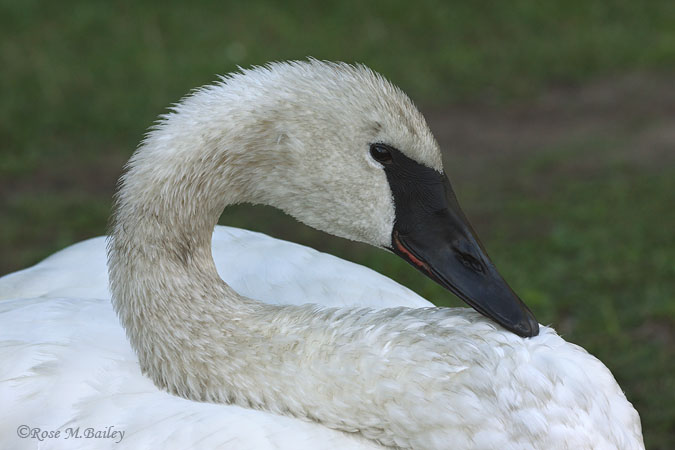 Trumpeter swan up close