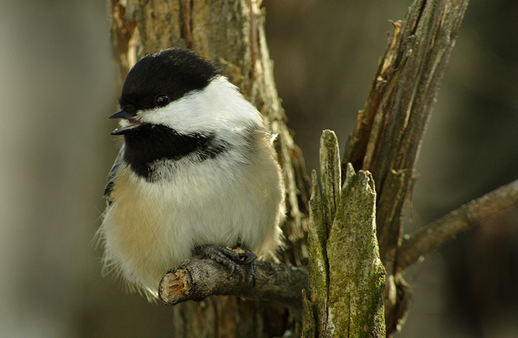 Another Chickadee