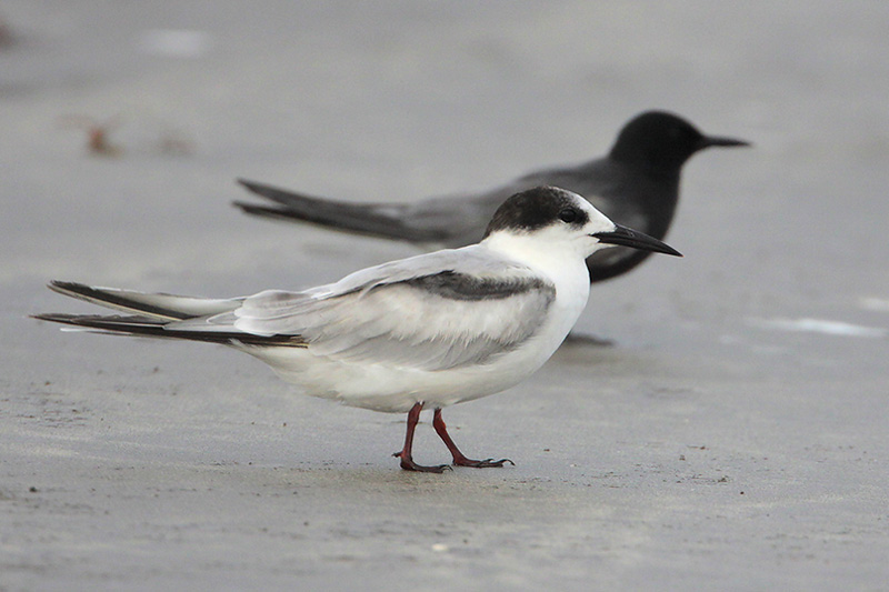 Common Tern and Black Tern