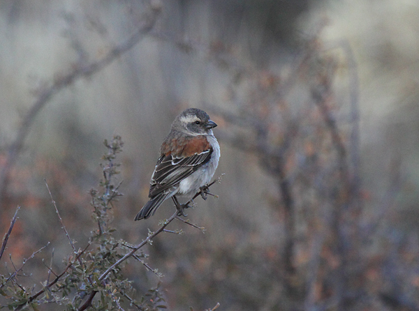 Cape Sparrow (female)