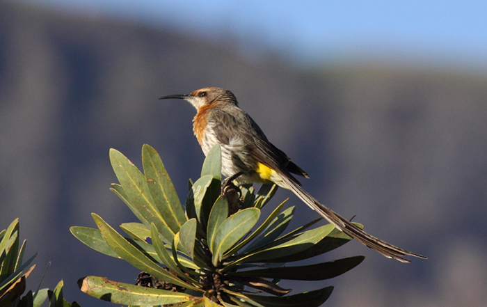 Gurneys Sugarbird