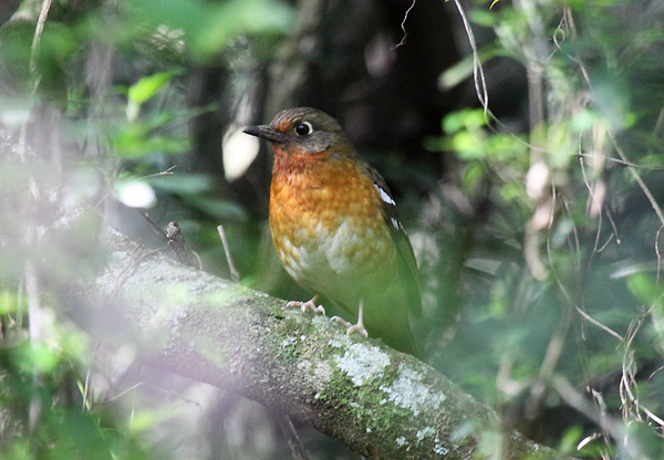 Orange Ground-Thrush