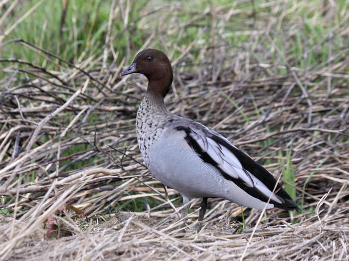 Maned (Australian Wood) Duck