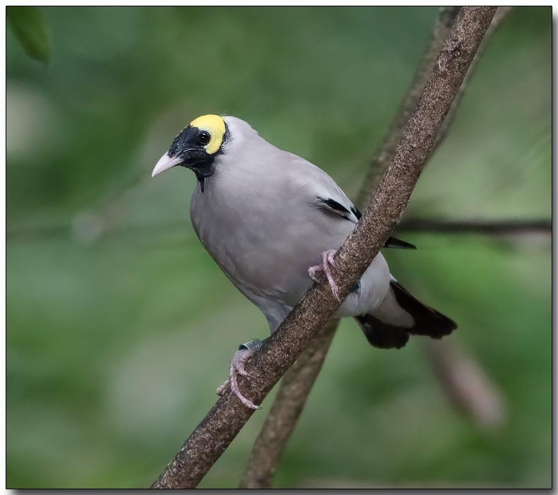 Wattled Starling - male