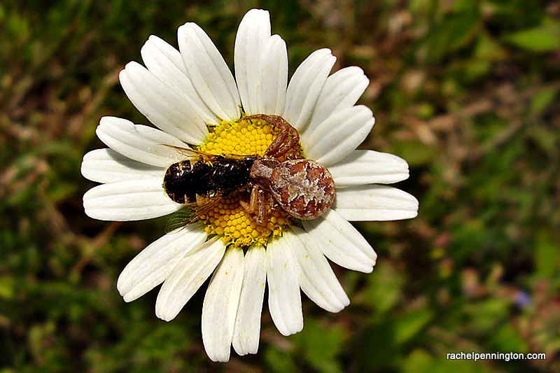 Crab Spider Lunch 2 of 3