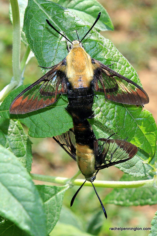 Clearwing Moth