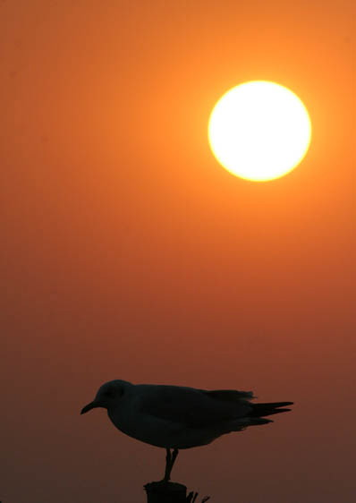 Silhouette of Brown-headed Gull