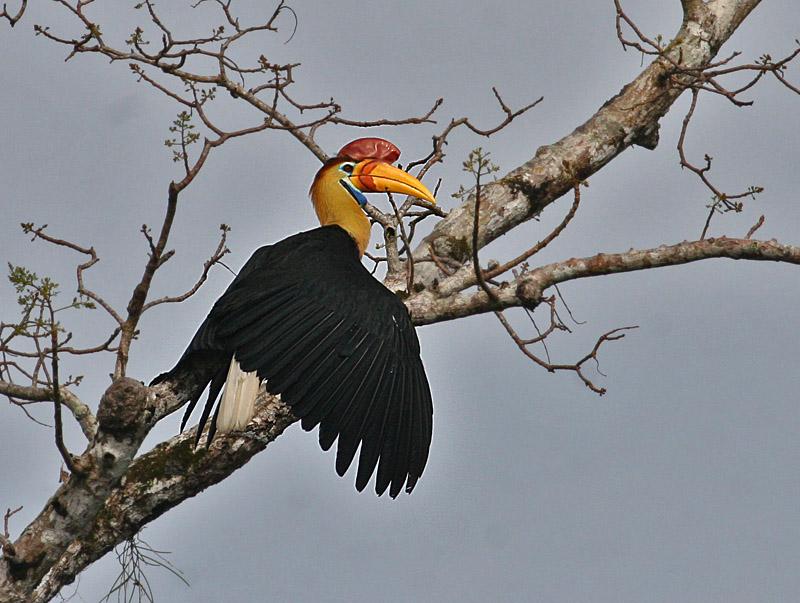 Red-knobbed Hornbill