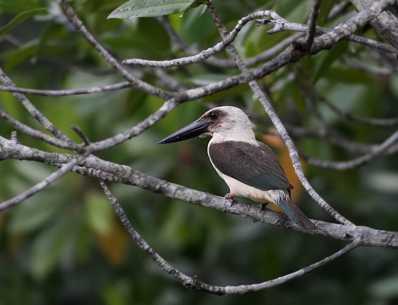 Black-billed Kingfisher