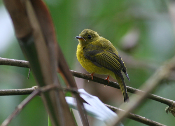 Citrine Flycatcher