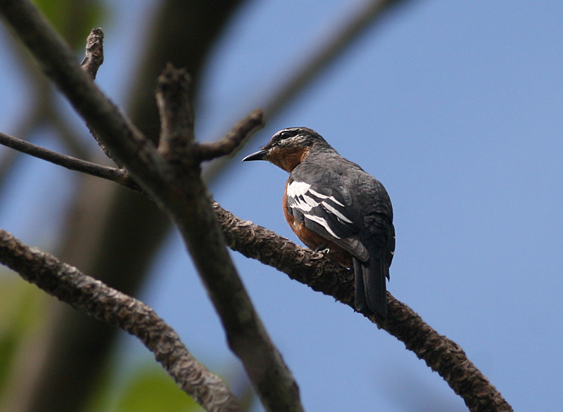 Rufous-bellied Triller