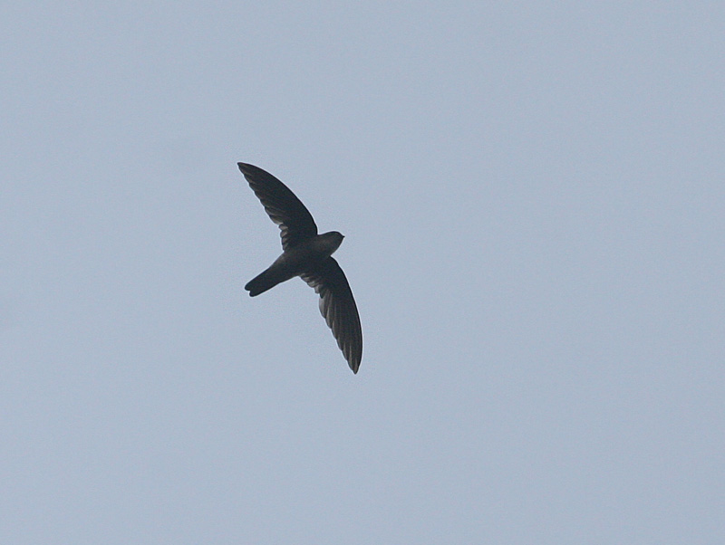 Moluccan  or Uniform Swiftlet?