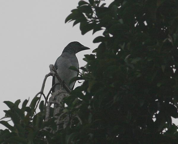 Moluccan Cuckoo-Shrike