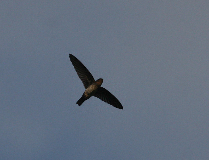 Cave Swiftlet