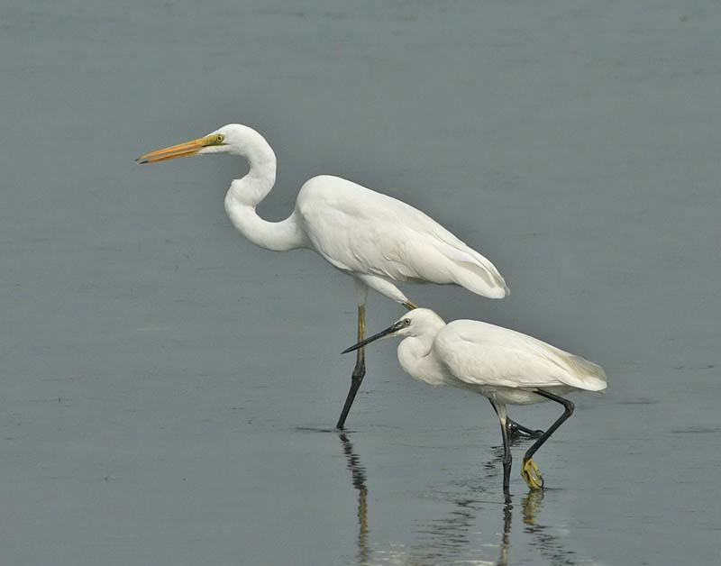 Great and Little Egret