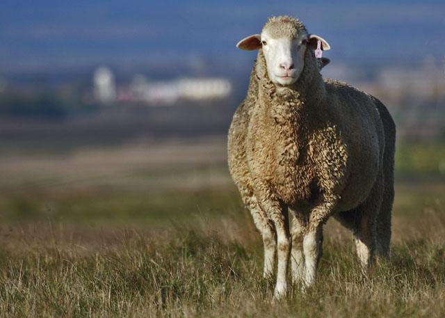 Fleece not The Lamb