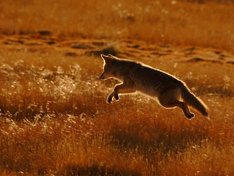 Coyote 50