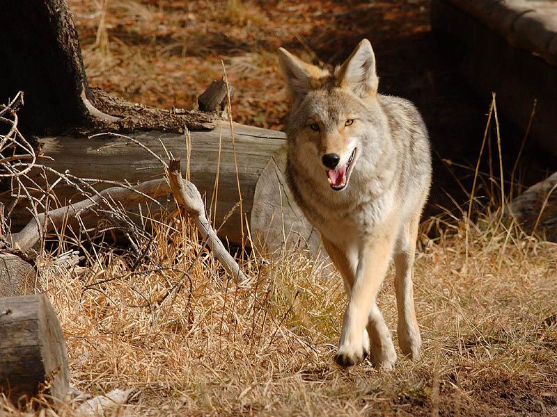 Coyote 100