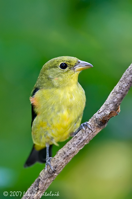 Scarlet Tanager (male)