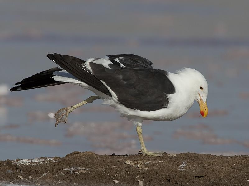 kelp gull <br> Larus dominicanus