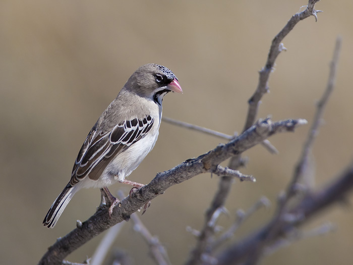 scaly-feathered finch <br> baardmanwever <br>  Sporopipes squamifrons