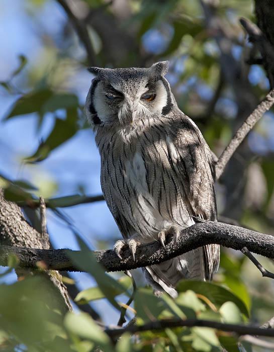 southern white-faced scops-owl <br> Ptilopsus granti