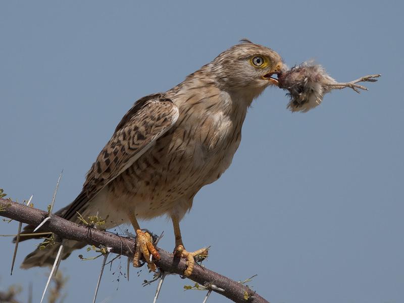 greater kestrel <br> grote torenvalk <br> Falco rupicoloides