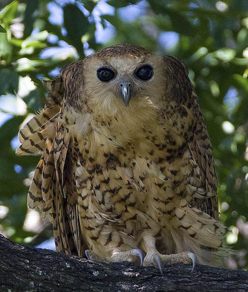 Pels fishing-owl <br> Pels visuil <br> Scotopelia peli