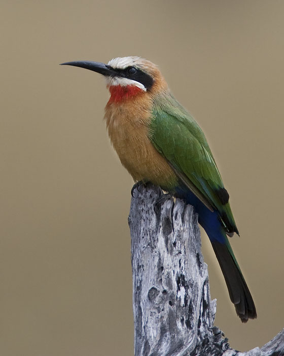 white-fronted bee-eater <br> witkapbijeneter <br> Merops bullockoides