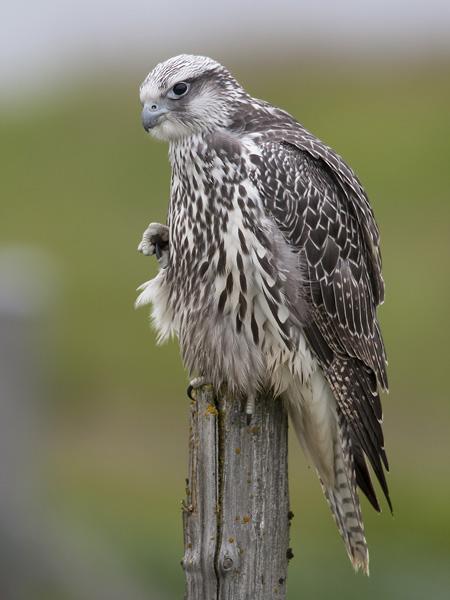 gyr falcon (juv.) <br> giervalk <br> Falco rusticolus