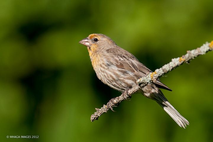 House Finch, male