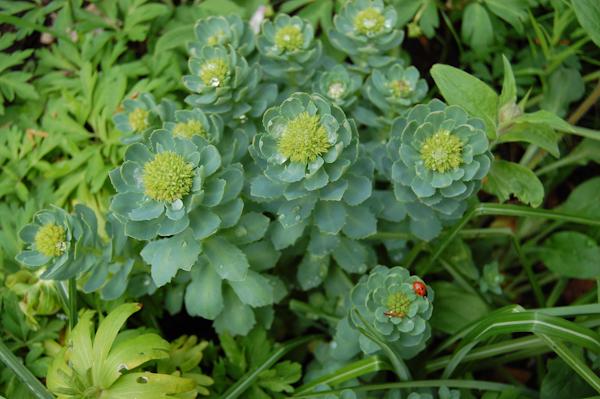 Rosenrod - Rodiola rosen