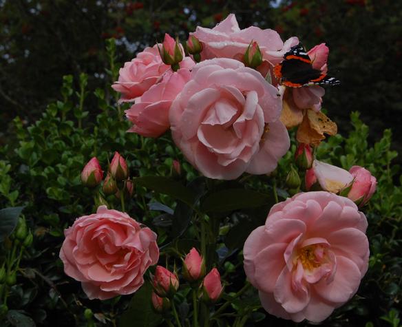 Rosa Astrid Lindgren (Poulsen, Denmark)