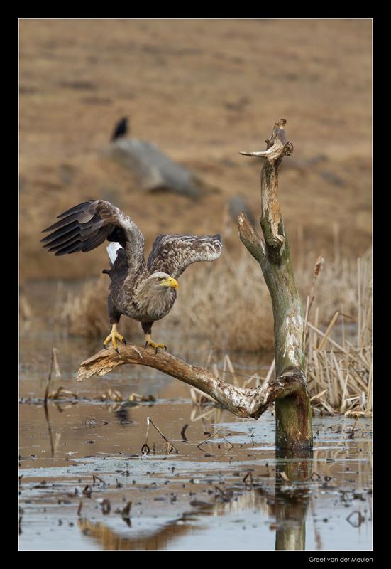 1483 white tailed eagle