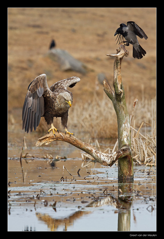 1465 white tailed eagle and hooded crow