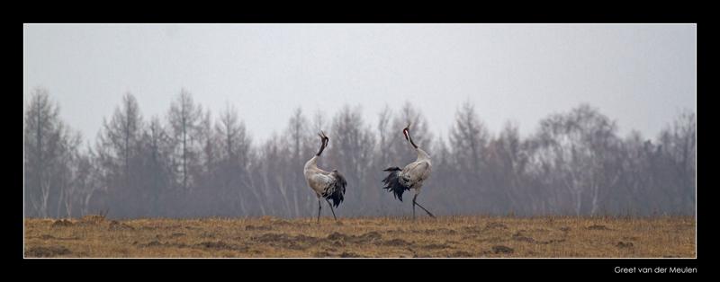 2773 dancing cranes