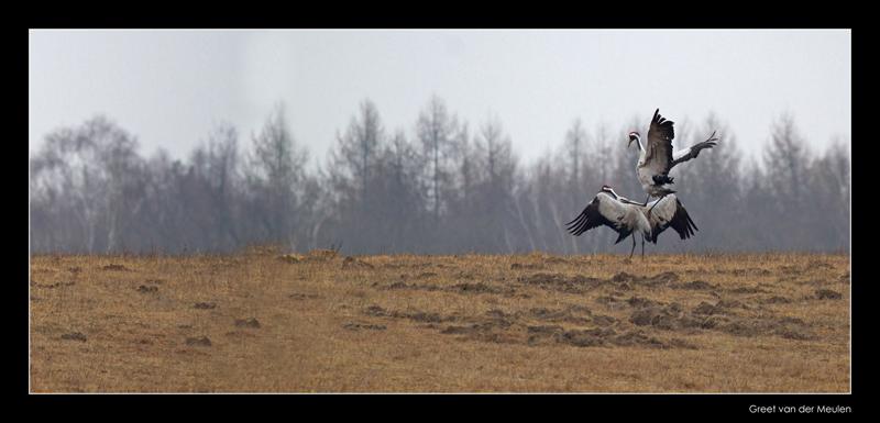 2741 cranes the run to copulation