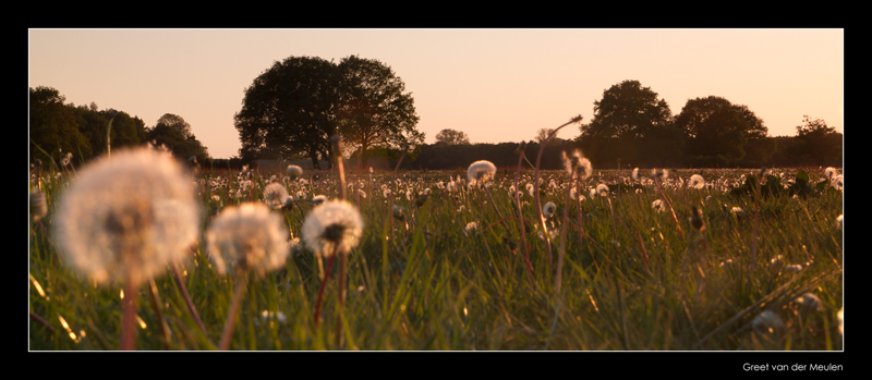 4179 sunset on meadow with dandelions